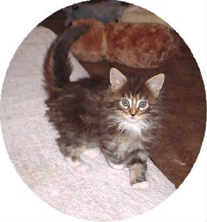 mainecoonkittensbsbrownpatchmale.jpg