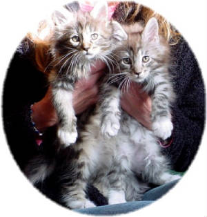 mainecoonkittenssockssilvermacbrownpatchtabby.jpg