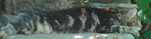 Maine Coons of Niwot